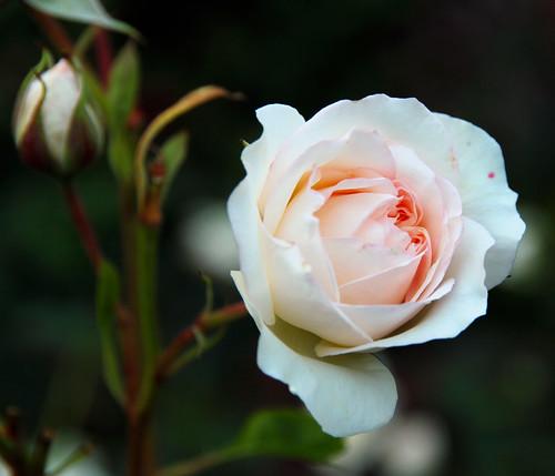 Butchart Gardens - Perdita Rose