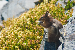 Golden mantled Ground Squirrel Contemplates