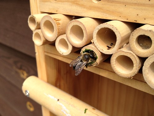 Leafcutter bee at work