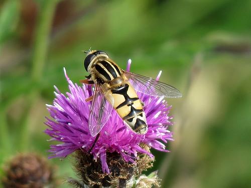 Hoverfly - Helophilus trivittatus