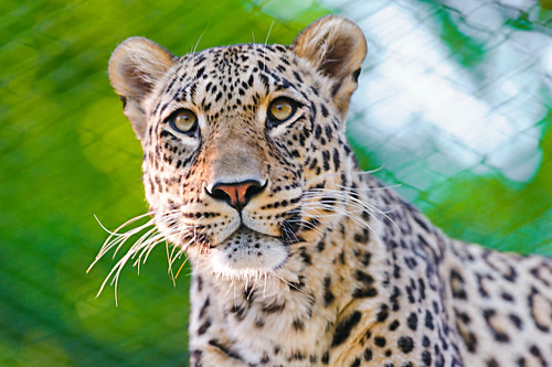 無料写真素材|動物|豹・ヒョウ|ペルシャヒョウ