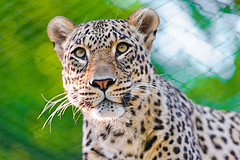 [Free Images] Animals 1, Leopards, Persian Leopard ID:201208141000
