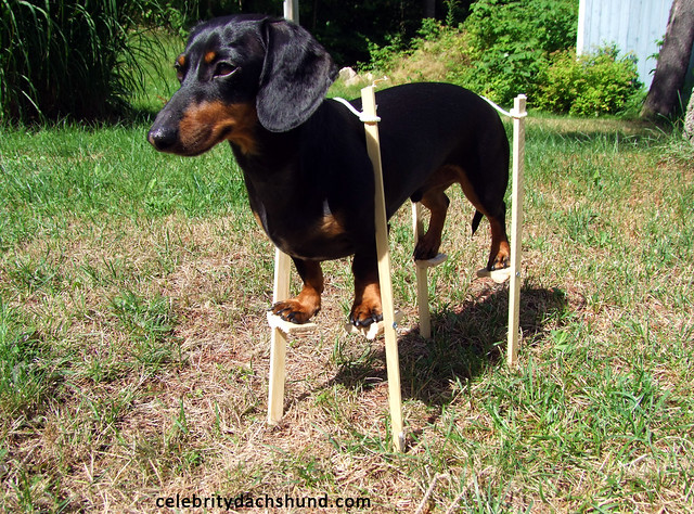 Dachshund on Stilts!