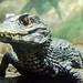 Small photo of Alligator