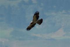 Booted Eagle 5