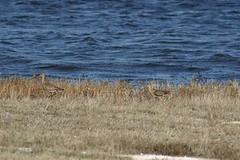 Marbled Godwit prairie Alberta