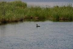 Red-necked Grebe Cold Lake Alberta
