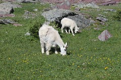 animal, grass, mammal, goats, herd, grazing, domestic goat, fauna, mountain goat, meadow, pasture, grassland, wildlife,