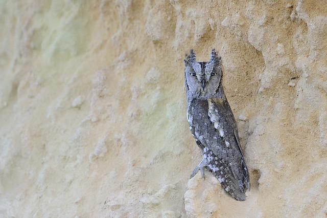 European Scops Owl / Dvärguv (otus scops)