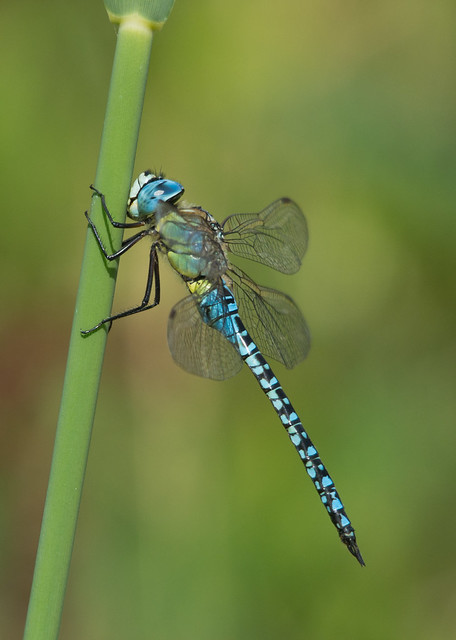 southern migrant hawker Aeshna affinis