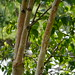 Small photo of Betula utilis