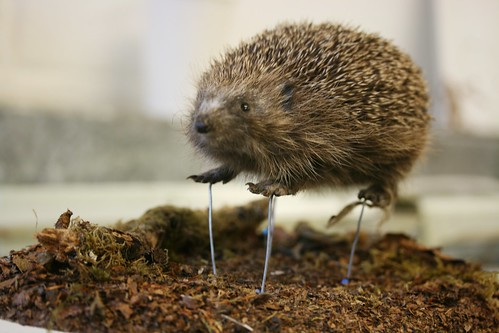The amazing levitating Hedgepig!
