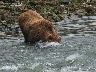 Brown Bear searching underwater for Salmon 1CGS5197