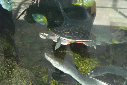 Red Bellied Short Necked Turtle Pink Belly Short Necked or