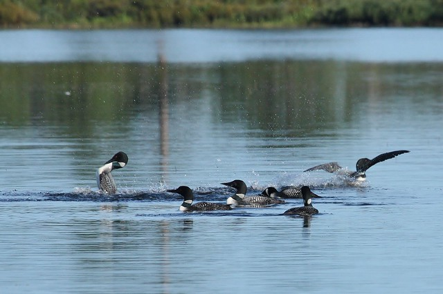 Party of Seven Common Loons
