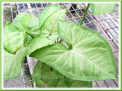 Syngonium podophyllum 'Ivory' (probable cultivar ID) at a garden center, 22 Aug 201