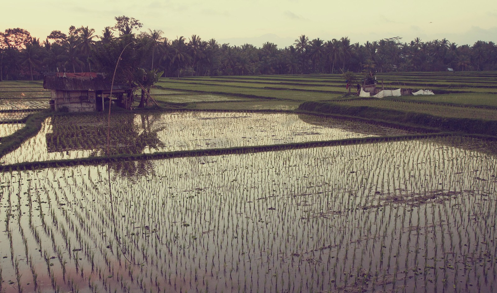 Rice fields, Ubud, Indonesia
