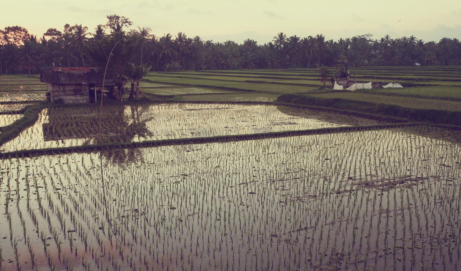 Rice fields, Ubud, Indonesia