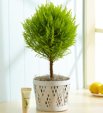 lemon_cypress_topiary