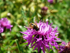 pollinator, animal, honey bee, pollen, flower, plant, bee balm, invertebrate, macro photography, membrane-winged insect, wildflower, flora, fauna, close-up, meadow, bee,