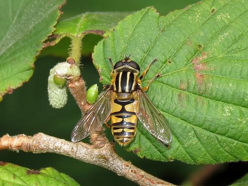Hoverfly - Heliophilus pendulus