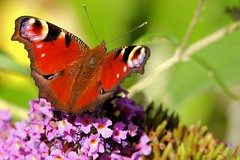 Peacock Butterfly - Minsmere
