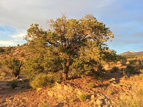 pine pinyonpine sunset goldenhour utah moabutah spanishvalley lasalmountains
