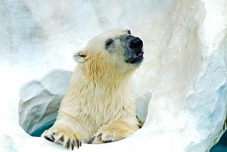 Female Polar Bear, Der of Ueno Zoo : ホッキョクグマのデア♀(上野動物園)