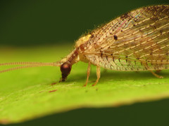 Brown Lacewing