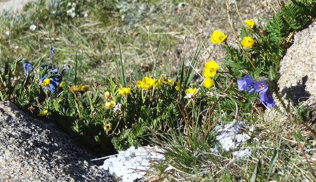 flowers-rockies