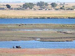 Overexposed Hippos in front of rivers in front of houses
