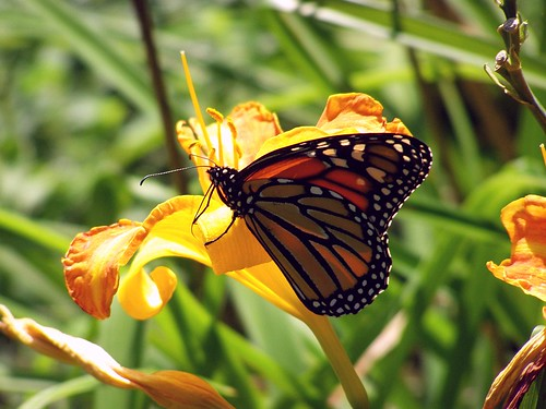 2012_0815Monarch0003 by maineman152 (Lou)