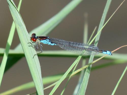 Small Red-eyed Damselfly - Erythromma viridulum