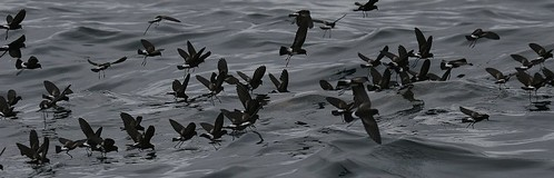 storm petrel flock Pelagic birding with Nature Expeditions in Peru