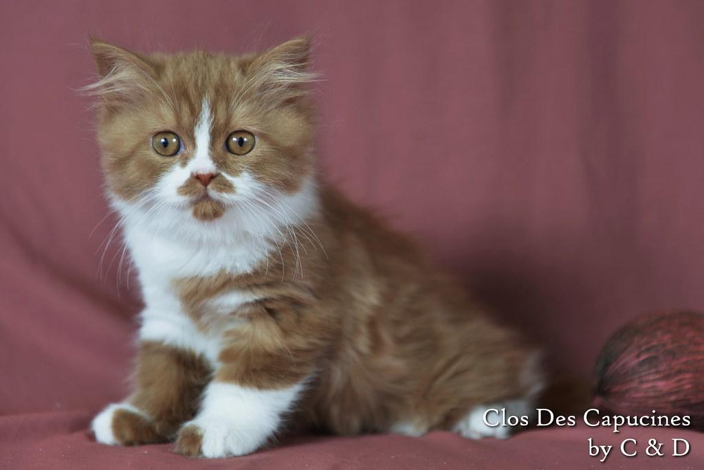 chaton british longhair cinnamon et blanc