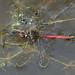 Pond skaters and backswimmer feeding on ruddy darter by Neil Phillips