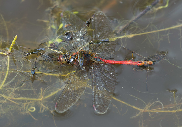 Pond skaters and backswimmer feeding on ruddy darter
