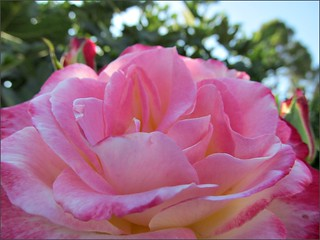 Full blown pink rose