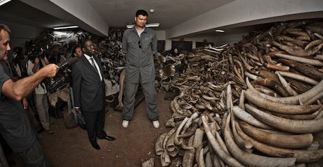 August 22nd, 2012 - Yao Ming is shown confiscated tusks in Kenya