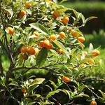 kumquat bush - Richard Nixon Presidential Library and Museum