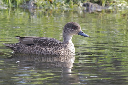 Tete - Grey Teal - Anas gracilis