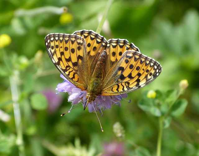 Dark Green Fritillary, Switzerland