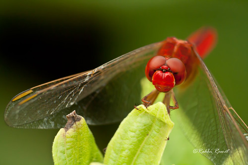 Red-veined Darter (Sympetrum fonscolombii)