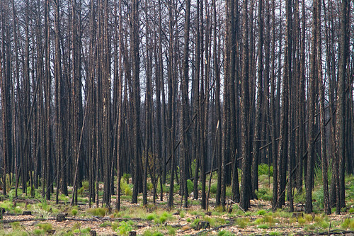 pinetree tx pines bastrop loblolly loblollypine plantsflowers lostpinespark