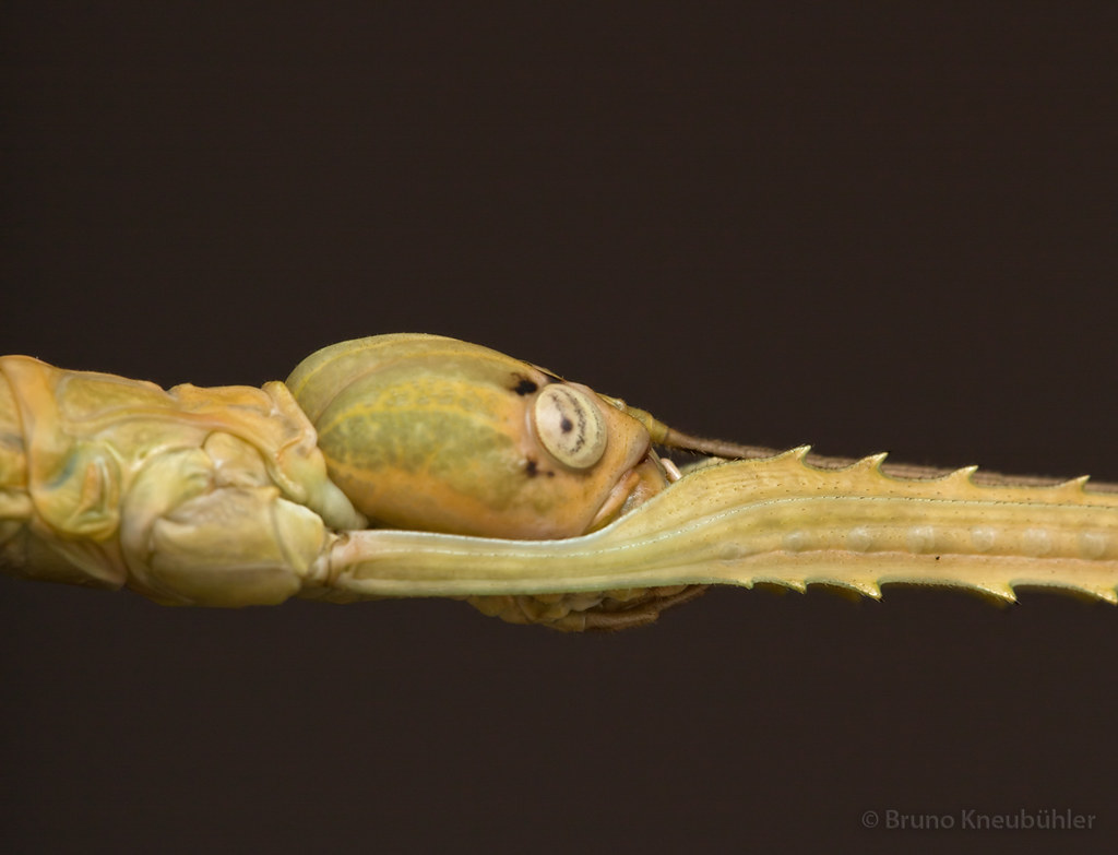 "Anchiale sp. ""Buru"" (Phasmatodea) - new species 7906788788_ff9d10c0ec_b"