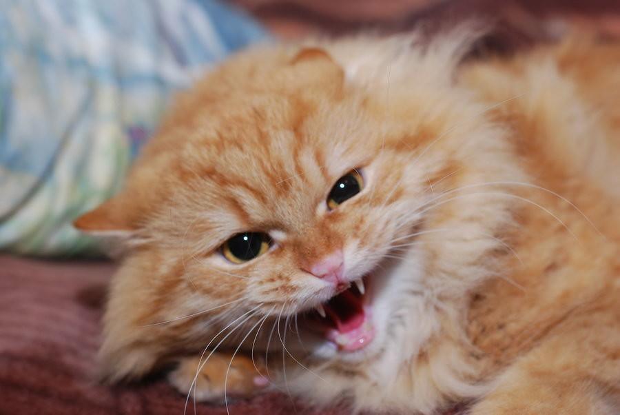 Кот рычит и скалит клыки