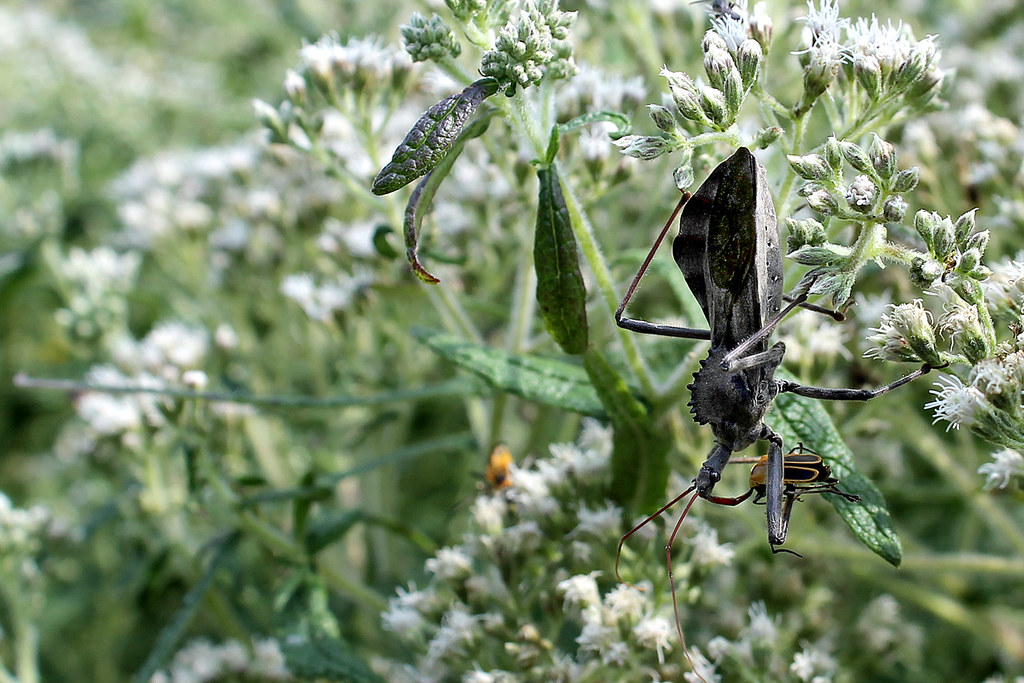 Wheel bug eating soldier beetle on boneset