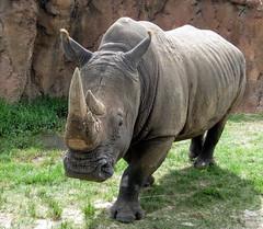Tampa - Busch Gardens - Rhino Rally - Rhinoceros - Approaching Vehicle
