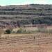 Pastoreando ovejas sobre esquilmos de maíz - Grazing sheep in a cornfield; cerca de Santiago Tilla (Región Mixteca), Oaxaca, Mexico por Lon&Queta