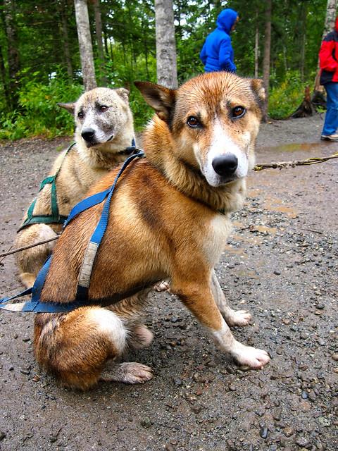 Sled Dogs, Alaska